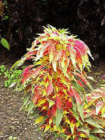 Amaranthus_tricolor