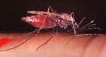 Anopheles_gambiae_str__PEST