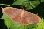 Antheraea_yamamai