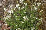 Arabidopsis_halleri