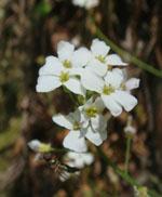 Arabidopsis_halleri_subsp__gemmifera