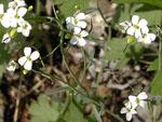 Arabidopsis_lyrata