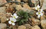 Arabidopsis_lyrata_subsp__petraea