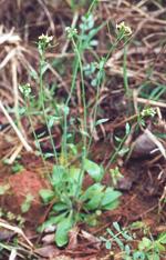 Arabidopsis_thaliana_ecotype_Rsch_4