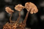 Auriscalpium_vulgare_FP105234_Sp