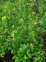 Brassica_nigra