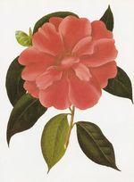 Camellia_reticulata