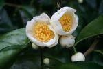 Camellia_taliensis