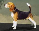 Canis_lupus_familiaris_breed_beagle