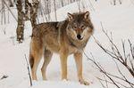 Canis_lupus_lupus