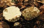 Choiromyces_venosus_120613_1