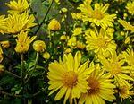 Chrysanthemum_indicum