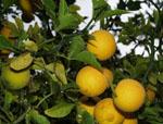 Citrus_trifoliata