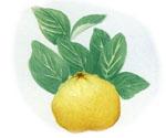 Citrus_x_paradisi_x_Citrus_trifoliata