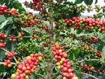 Coffea_arabica