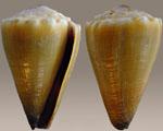 Conus_sanguinolentus
