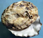 Crassostrea_virginica