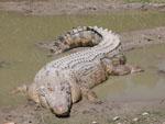 Crocodylus_porosus
