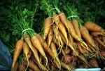 Daucus_carota_subsp__sativus