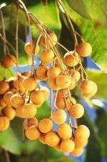 Dimocarpus_longan
