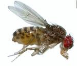 Drosophila_arizonae