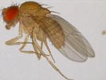 Drosophila_bipectinata