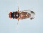 Drosophila_elegans