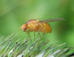 Drosophila_ercepeae