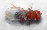 Drosophila_malerkotliana_pallens