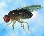 Drosophila_miranda