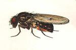 Drosophila_montana