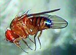 Drosophila_simulans_str__md106