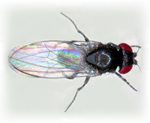 Drosophila_subobscura