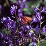 Eichhornia_paniculata