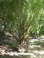 Elaeis_guineensis_cultivar_Jacq