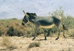 Equus_asinus