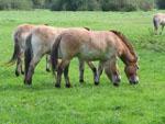 Equus_caballus_breed_Mongolian