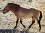 Equus_przewalskii