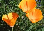 Eschscholzia_californica