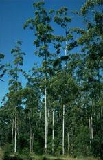 Eucalyptus_grandis
