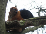 Eulemur_flavifrons