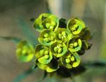 Euphorbia_esula