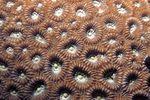 Favia_lizardensis