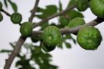 Ficus_carica