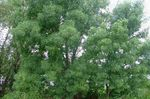 Fraxinus_angustifolia_subsp__angustifolia