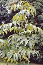 Fraxinus_paxiana