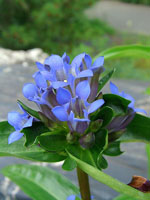 Gentiana_macrophylla