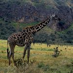 Giraffa_camelopardalis_tippelskirchi