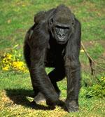 Gorilla_gorilla