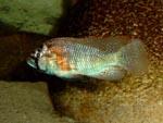 Haplochromis_burtoni